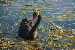 Nieuwsgierige zwarte zwaan Stock Foto