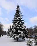 Nieve abrigada picea Fotos de archivo