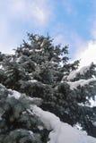 Nieve abrigada picea Fotografía de archivo libre de regalías