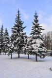 Nieve abrigada picea Foto de archivo