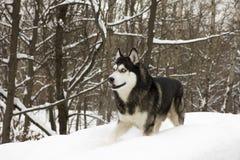 Nieve animal orgullosa hermosa del lobo del perro salvaje del invierno fornido de la nieve grande Foto de archivo
