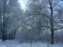 Nieve azul en árboles Foto de archivo