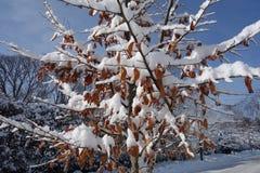Nieve blanca en las hojas marrones secas Foto de archivo libre de regalías