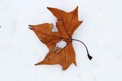 Nieve blanca pura de la hoja brillante del otoño foto de archivo libre de regalías