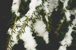 Nieve caida en ramas de árbol de pino Fotografía de archivo