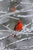 Nieve cardinal 2 Foto de archivo libre de regalías
