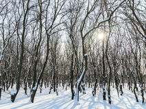 Nieve de Forest Trees Covered With Winter Imagen de archivo libre de regalías