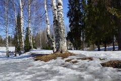 Nieve de fusión del bosque del abedul blanco de marzo en el parque Foto de archivo libre de regalías