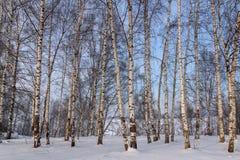 Nieve de la arboleda del abedul de los troncos Fotos de archivo