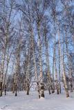 Nieve de la arboleda del abedul de los troncos Foto de archivo libre de regalías