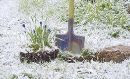 Nieve de la pala del Muscari de la flor Foto de archivo libre de regalías