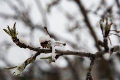 Nieve de la primavera en los brotes del árbol de Appel del cangrejo fotografía de archivo libre de regalías