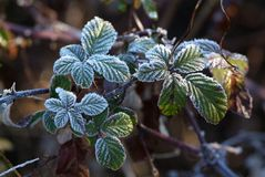 Nieve de la rama del abeto Fotografía de archivo