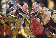 Nieve de la rama del abeto Foto de archivo libre de regalías