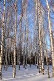 Nieve del bosque del invierno del abedul Imagenes de archivo