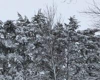 Nieve del invierno de Iowa en los árboles Foto de archivo