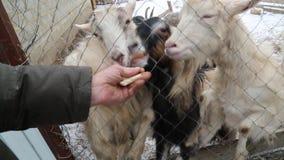 Nieve del invierno de la granja de la cabra que alimenta animales hambrientos almacen de video