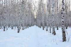 Nieve del invierno del abedul Imágenes de archivo libres de regalías