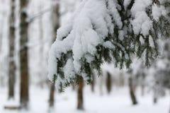Nieve del invierno en rama de árbol de abeto Fotografía de archivo libre de regalías