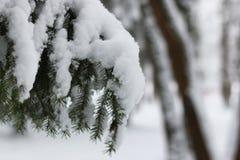Nieve del invierno en rama de árbol de abeto Imágenes de archivo libres de regalías