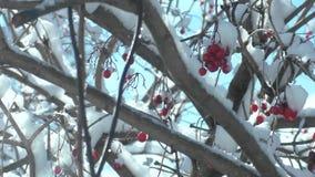 Nieve del viburnum del arbusto del invierno de la naturaleza metrajes