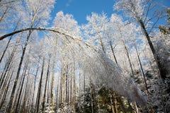 Nieve doblada del árbol de abedul envuelta Imagen de archivo libre de regalías