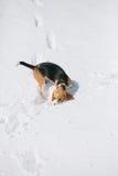Nieve el oler del beagle Fotos de archivo libres de regalías