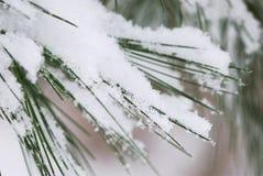 Nieve en agujas del pino Fotos de archivo libres de regalías