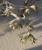 Nieve en agujas del pino Imagen de archivo libre de regalías