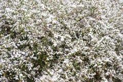 Nieve en arbustos Fotos de archivo libres de regalías