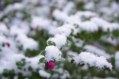 Nieve en la planta Fotografía de archivo libre de regalías
