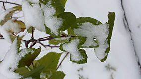 Nieve en la planta de la frambuesa Imágenes de archivo libres de regalías