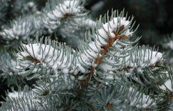Nieve en la ramificación del abeto Fotografía de archivo