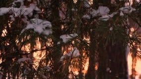 Nieve en la ramificación del pino rama hermosa del pino en el viento de balanceo de la puesta del sol bosque de la tarde del invi almacen de metraje de vídeo