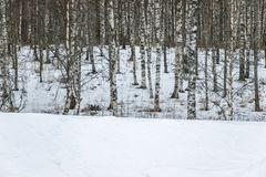 Nieve en la tierra en bosque del árbol de abedul Fotos de archivo