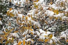 Nieve en las hojas de la caída Imágenes de archivo libres de regalías