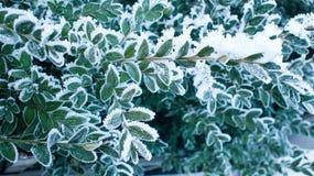 Nieve en las hojas verdes Fotografía de archivo libre de regalías