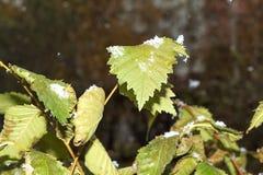Nieve en las hojas verdes Foto de archivo libre de regalías
