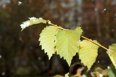 Nieve en las hojas verdes Fotografía de archivo