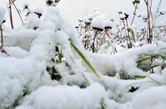 Nieve en las plantas en último otoño Imágenes de archivo libres de regalías