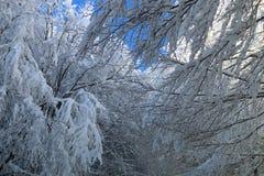 Nieve en las ramas Imagenes de archivo