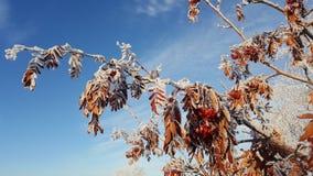 Nieve en las ramas de árbol Opinión del invierno de los árboles cubiertos con nieve La severidad de las ramas debajo de la nieve  Imágenes de archivo libres de regalías