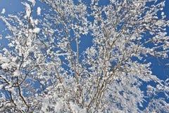 Nieve en las ramas Fotografía de archivo libre de regalías