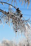 Nieve en las ramas y los conos del alerce fotografía de archivo