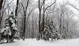 Nieve en piceas en el parque - invierno foto de archivo libre de regalías