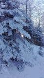 Nieve en pino Imagen de archivo