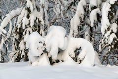 Nieve en rama spruce foto de archivo libre de regalías
