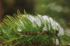 Nieve en un pino. Foto de archivo libre de regalías