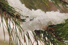Nieve en un pino. Fotografía de archivo