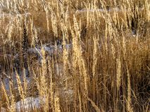 Nieve entre el campo de trigo en Siberia, Rusia imágenes de archivo libres de regalías